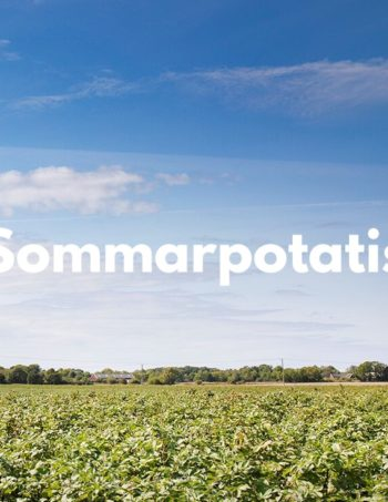 Sommarpotatis